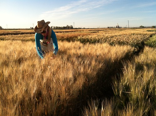Brittany Hazard, a University of California-Davis doctoral student collecting samples from a wheat field
