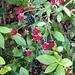 Wild Blackberries in an Azalea Bush (05/25/15) by Ana S. 4292