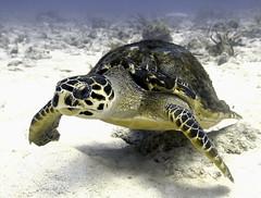 2014 GC - Sea Turtle