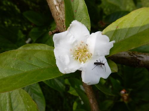 Medlar blossom