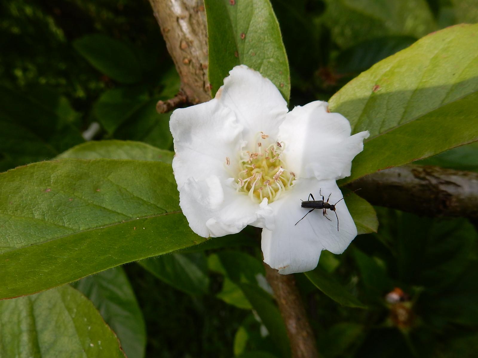 Medlar blossom Winkworth Arboretum, Milford to Godalming