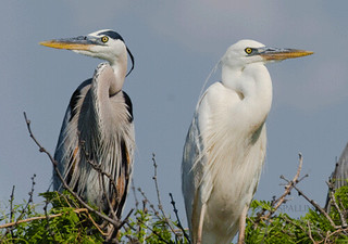 Great-blue-vs.-Great-white-heron-Aransas