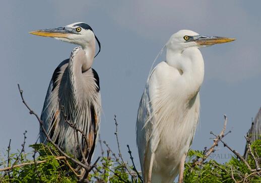 Great-blue-vs.-Great-white-heron-Aransas