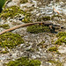 formosan grass lizard(?) -  - wulai forest reserve, taiwan