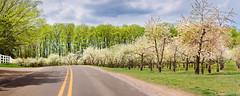 Orchard Pano
