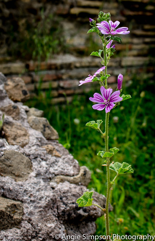 ostia purple flowers (1 of 1)