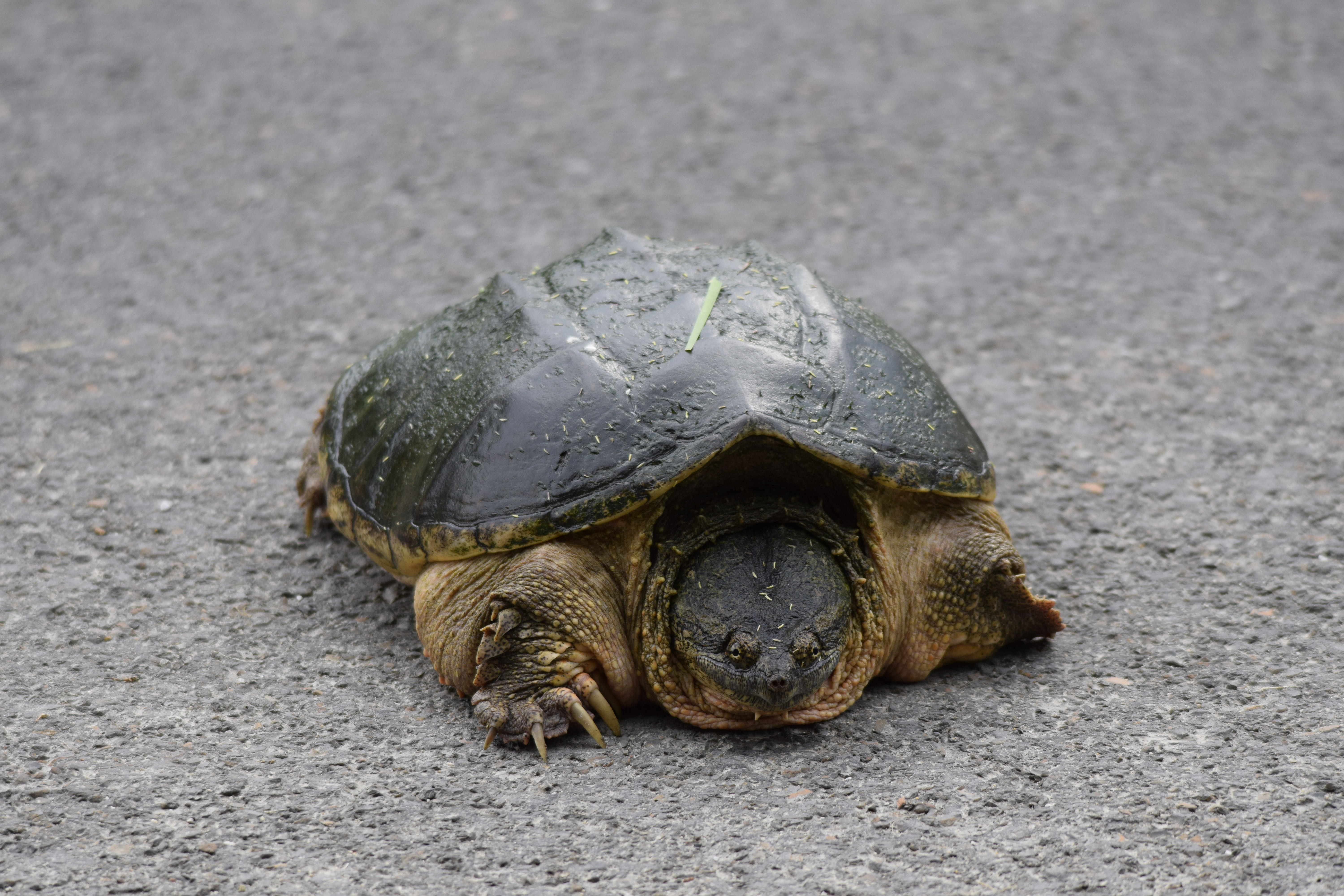 Kansas atchison county lancaster - Eastern Snapping Turtle