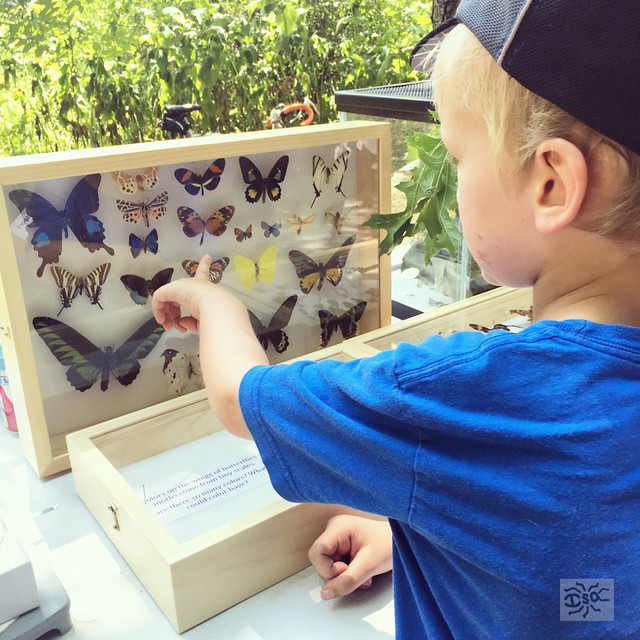 A curious kid checks out a butterfly and moth display at Wings in the Park.