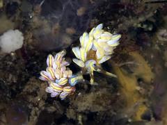 オショロミノウミウシ属の一種 27