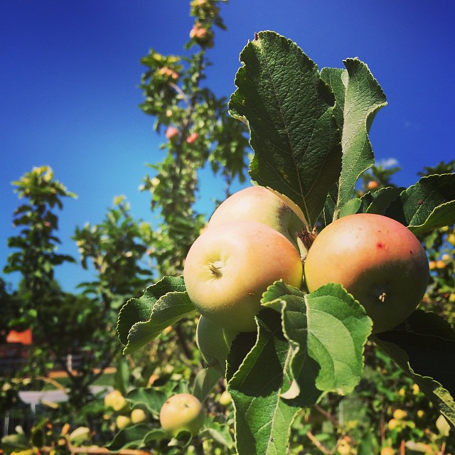 Apples in the orchard. by bartlewife
