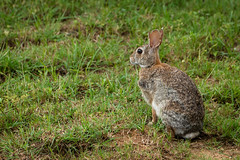 pet(0.0), animal(1.0), prairie(1.0), hare(1.0), grass(1.0), rabbit(1.0), domestic rabbit(1.0), fauna(1.0), wood rabbit(1.0), rabits and hares(1.0), wildlife(1.0),
