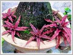 Focus on the swollen base of Nolina recurvata, with Crypthantus 'Ruby', as companions, June 27 2014