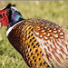 Small photo of Common or ring-necked Pheasant (Phasianus colchicus),