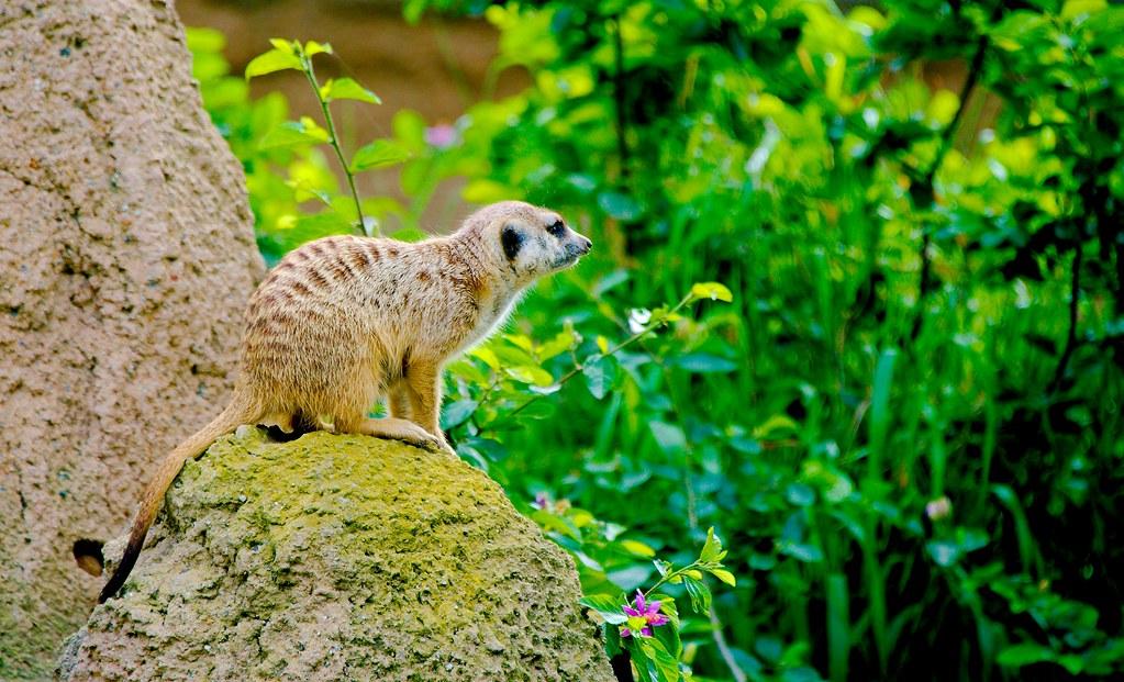 Meerkat (Suricata suricatta)_2