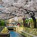 Takase River with Cherry Blossom 高瀬川一之船入