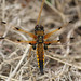 Four-spotted Chaser by Stoutcob