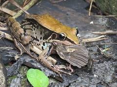 雛鳥跳到地上,被貢德式赤蛙給吃了。