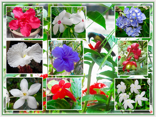 Collage of Sunbird on Red Button Ginger, with a few of our gorgeous blossoms