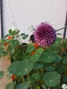 Bee on alium flower with red nasturtiums and daisies in background