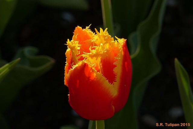 Britzer Garten Tulipan 06.05.2015  135