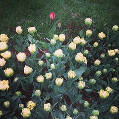 Stand out.  #tulips #spring #inspiration #igersboston