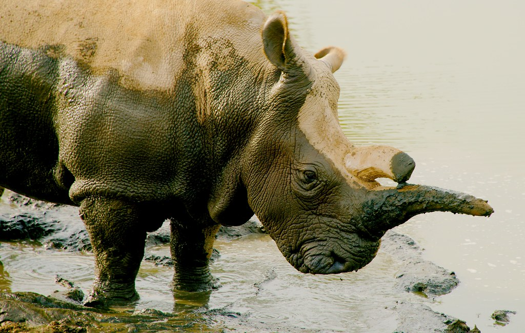 Northern white rhinoceros (Ceratotherium cottoni)_13