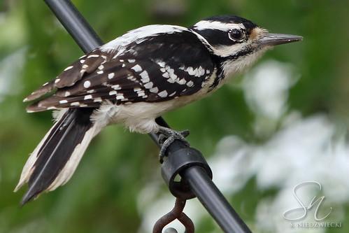Hairy Woodpecker 8401-16