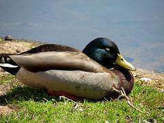comfortable ducky