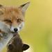 Red Fox vixen & cub by Benjamin Joseph Andrew