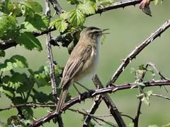 Bird- Warblers