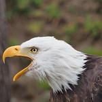 So, 31.05.15 - 12:25 - Águila Calva (Weisskopfseeadler)