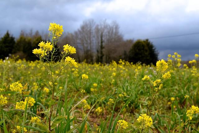 Rapeseed Fields in brittany, France | www.rachelphipps.com @rachelphipps