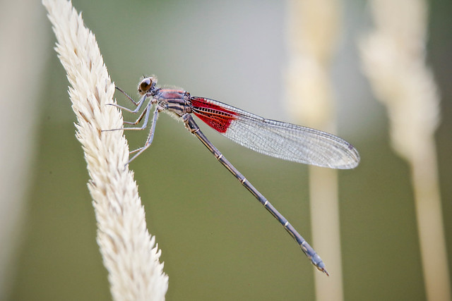 Header of American Rubyspot