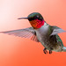 Ruby-throated hummingbird by Andre @new begining