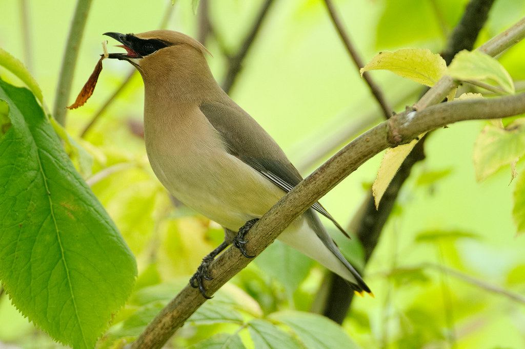 A cedar waxwing with a leaf in its beak