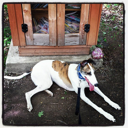 Cane at rest by the Little Woodland Library. #Cane #dogsofbuffalo #DogsOfInstagram #greyhound #EastAurora #KnoxFarm