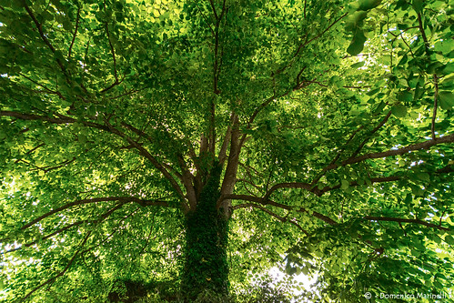 Albero secolare - Ancient tree