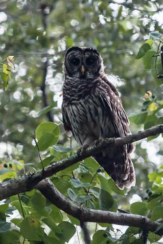 barredowl owl bird florida jacksonville