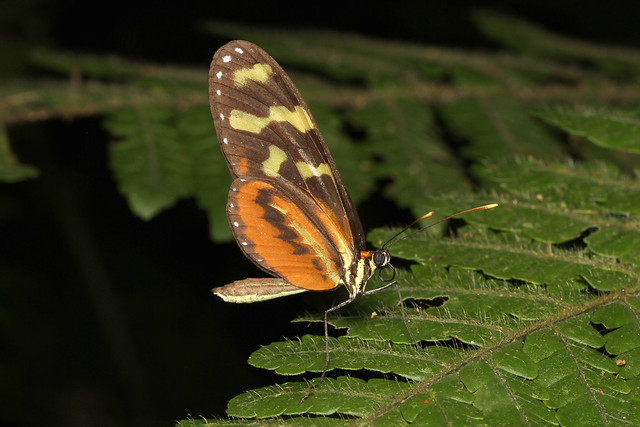 Mechanitis polymnia (Orange-spotted Tiger Clearwing) - Costa Rica