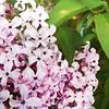 #Enlight lilacs