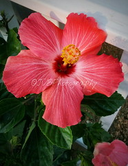 Mother's Day Hibiscus