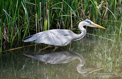 wetland, animal, water bird, wing, nature, fauna, little blue heron, heron, pelecaniformes, beak, bird, wildlife, egret,