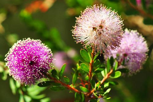 Garten Gartenreisen Botanischer Garten der Ruhr-Universität Bochum Freianlage Außenanlage Myrtenheide Melaleuca Juni 2015 Foto Brigitte Stolle