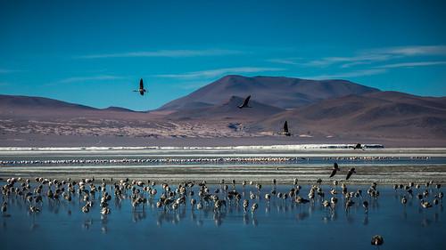 laguna lagunacolorada surlípez danielcampos bolivia latinamerica southamerica lake andes landscape flamingo flamingos bird birds morning manana blue reflection volcano volcan amanecer nature