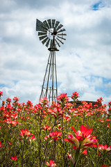 Indian Paintbrush and a Windmill