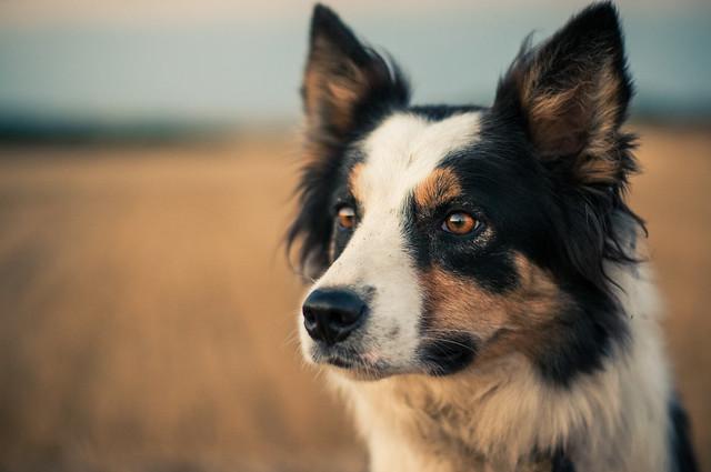Lassie un perro
