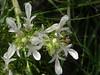 Teucrium laciniatum