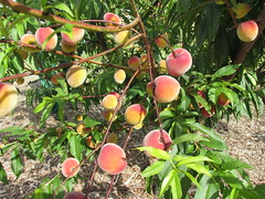 'Tropic Beauty' Peach - Olinda, Maui