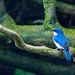 Blue Bird in jungle shade.... Kinabitangan River, Borneo by dhamments2013