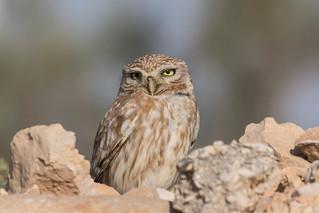 Little owl (Athene noctua lilith) כוס החורבות